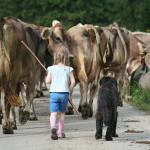 Ronja treibt die Kühe