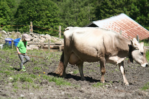 Luan treibt Kuh