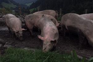 schweine-im-dunkeln